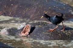 Sort Rørvagtel / Black Crake