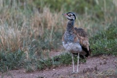 Rusttoppet Trappe / White-bellied bustard
