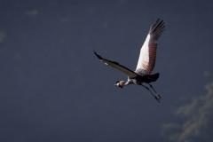Krontrane / Crowned Crane