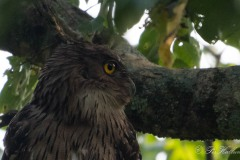 Brun fiskeugle / Brown Fish Owl