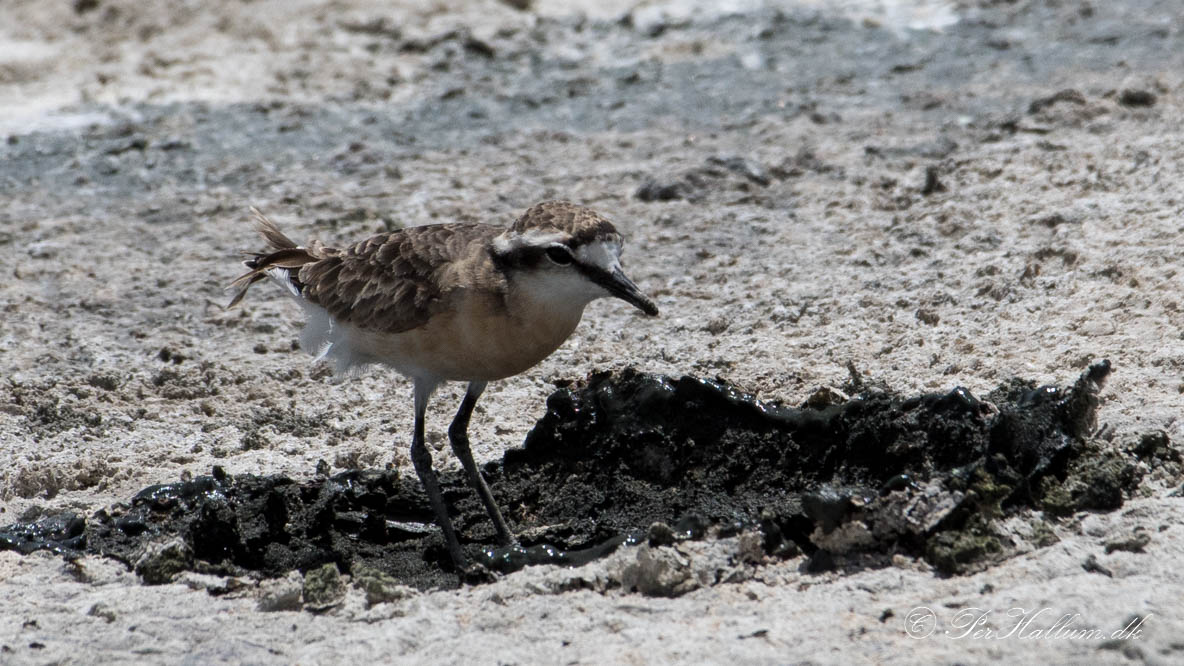 Kittlitz Præstekrave / Kittlit´s Plover