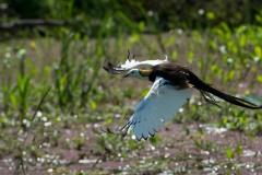 Fasanbladhøne / Pheasant-tailed Jacana