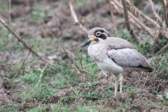 Stor Triel / Great Stone-curlew