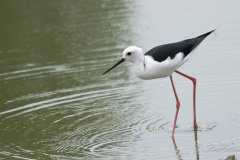 Stylteløber / Black winged Stilt