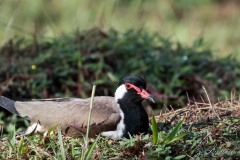Indisk Vibe / Red-wattled lapwing