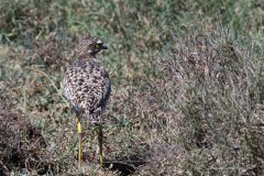 Plettet triel / Spotted Stone Curlew