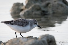 Dværgryle / Little Stint