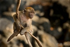 Javaabe / Long tailed Macaque
