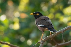 Maina Stær / Common Hill Myna