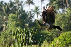 Påfugl / Indian peafowl
