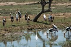 Indisk Skovstork / Painted Stork og en sølvhejre