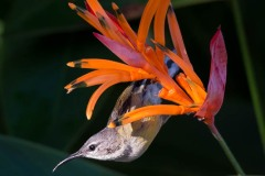 Kobberstrubet Solfugl / Copper-throated Sunbird