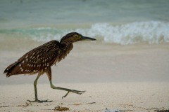 Nathejre / Rufous Night Heron