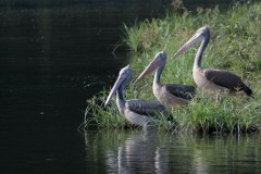 Grå Pelikan / Spot-billed pelican
