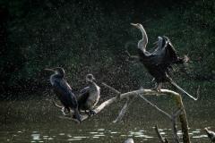 Darter / Indian Cormorant og Indisk Skarv / Indisk slangehalsfugl