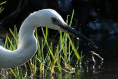 Silkehejre / Little Egret,