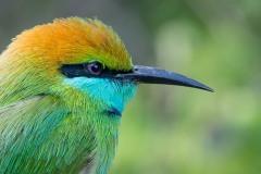 Lille grøn Biæder / Green Bee-eater