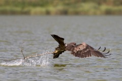Sort Glente / Black Kite