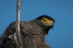Toppet Slangeørn / Crested Serpent Eagle