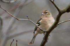 Bogfinke ♀