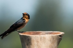 Stillehavssvale / Pacific swallow
