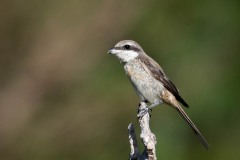 Brun tornskade / Brown Shrike