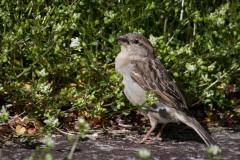 Gråspurv ♀