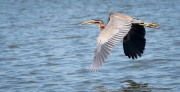 Purpurhejre / Purple Heron