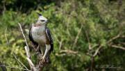 Lysbuget Høgeørn / Crested Hawk-Eagle,