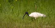 Indisk Ibis / Black-headed ibis