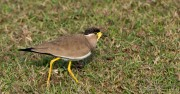 Indisk Lapvibe / Yellow-wattled lapwing