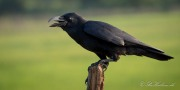 Stornæbbet Krage / Large-billed Crow
