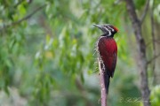 Sri Lanka-Sultanspætte / Crimson-backed flameback