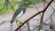 Rishejre / Indian Pond Heron