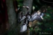 Dværgskarv, Pygmy Cormorant