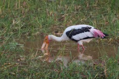 Indisk Skovstork / Painted Stork