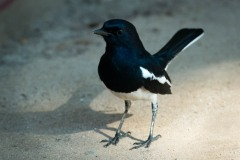 Dayal / Oriental Magpie-robin
