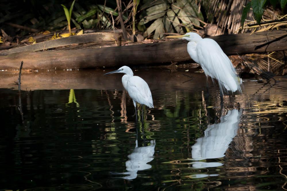 Silkehejre / Little Egret og Sølvhejre / Great Egret