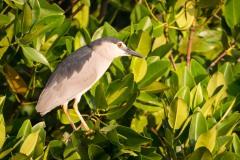 Nathejre / Black-crowned night heron