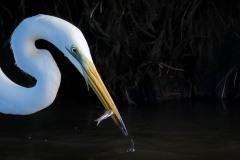 Sølvhejre / Eastern great egret