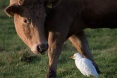 Kohejre - med ko som rækker tunge
