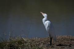 Kohejre / Cattle Egret