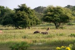Axishjorte og vildsvin