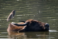 Rishejre / Indian Pond Heron og Vandbøffel