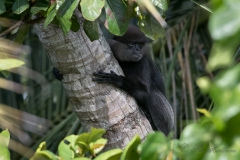 Sri Lanka-Langur / Purple-Faced Langur