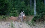 Kronhin og hjort