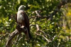 Brahmin Glente / Brahminy Kite