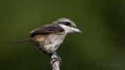 Brun tornskade, Brown Shrike