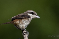 Brun tornskade, Brown Shrike